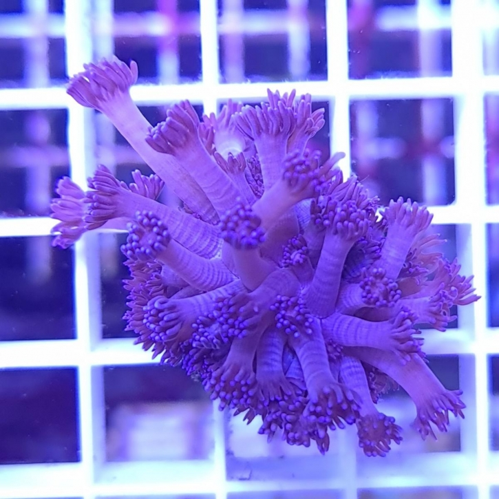 Goniopora lila
