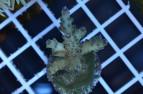 Acropora granulosa
