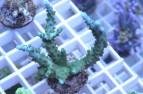"""Acropora """"smaragtgrün"""""""